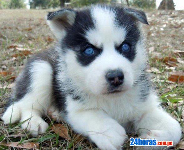 Dos hermosos cachorros siberian husky para su adopción