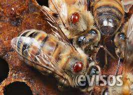 Fumigaciones de abejas en miraflores, san borja, surco