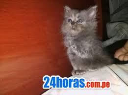 Gatos persas ñatitos
