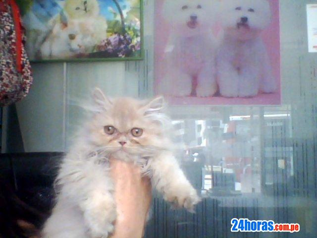 Gatos persas ñatitos vendo