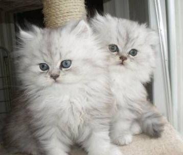 Gatos persas peludisimos tienen dos meses