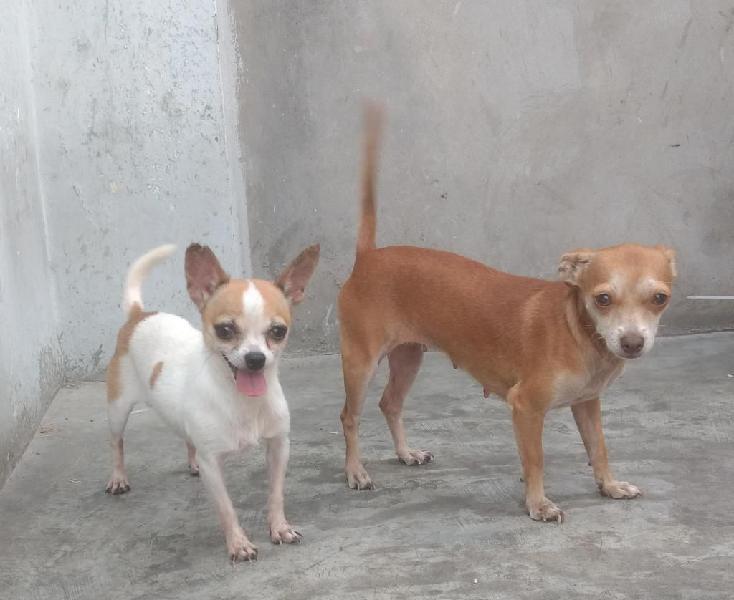 Chihuahua bicolor mini toy brinda servicio