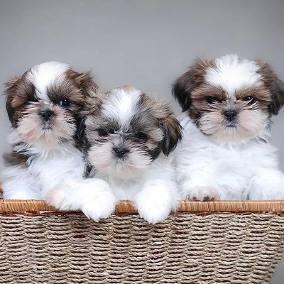 Cachorritos shih tzu mini toy