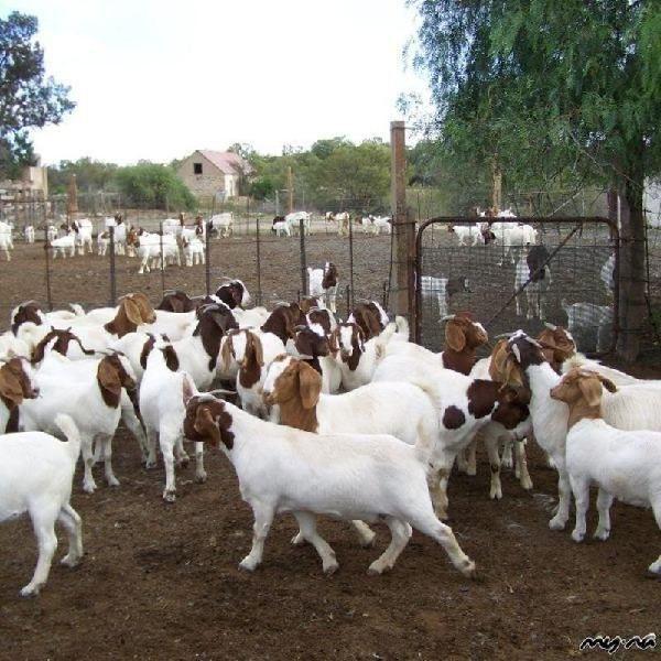 Boer cabras a la venta.