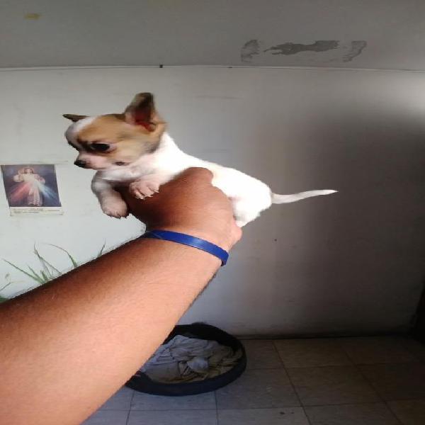 Cachorro chihuahua en venta