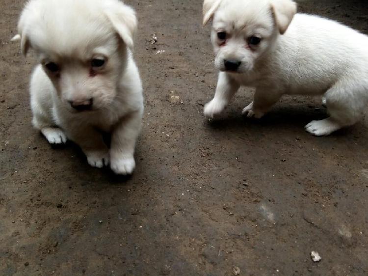 Cachorros Cruce Labrador Anuncios Enero Clasf