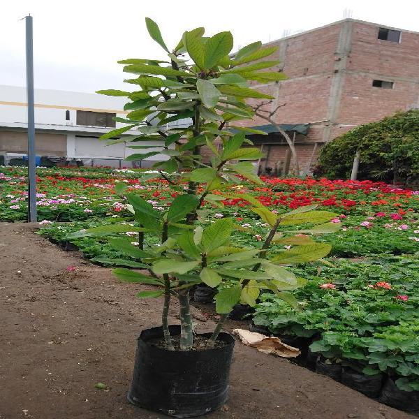 Planta de La Vida O Lechero Africano