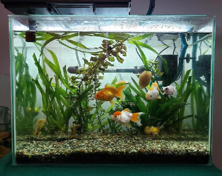 Vendo 5 peces golfish y un pez pleaco albino foto real