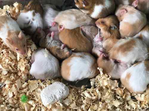 Hamster mascotas para la casa hermosos de tamaños y colores