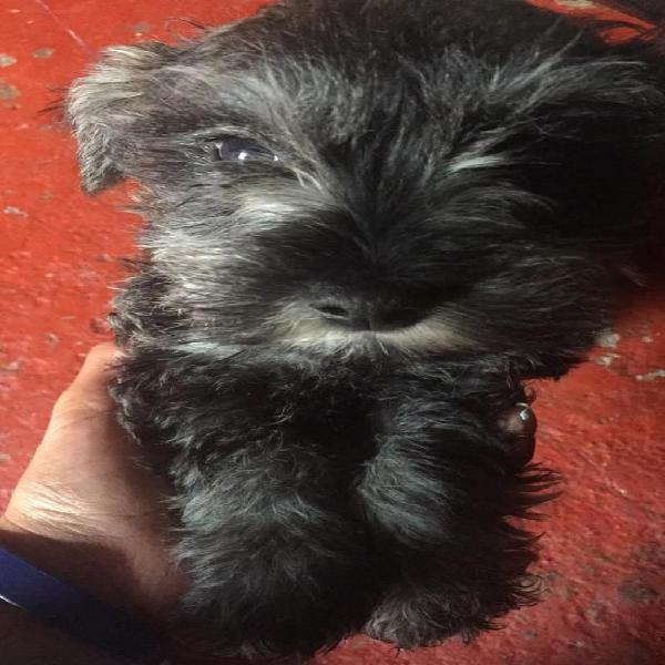 Cachorritos schnauzer mini