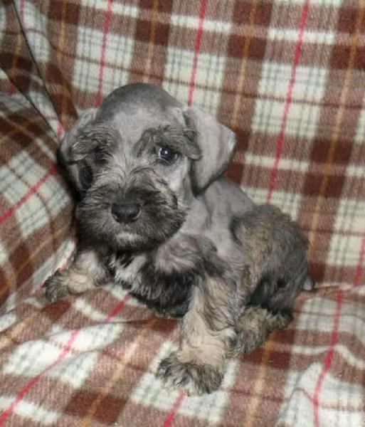 Cachorro schnauzer miniatura plata