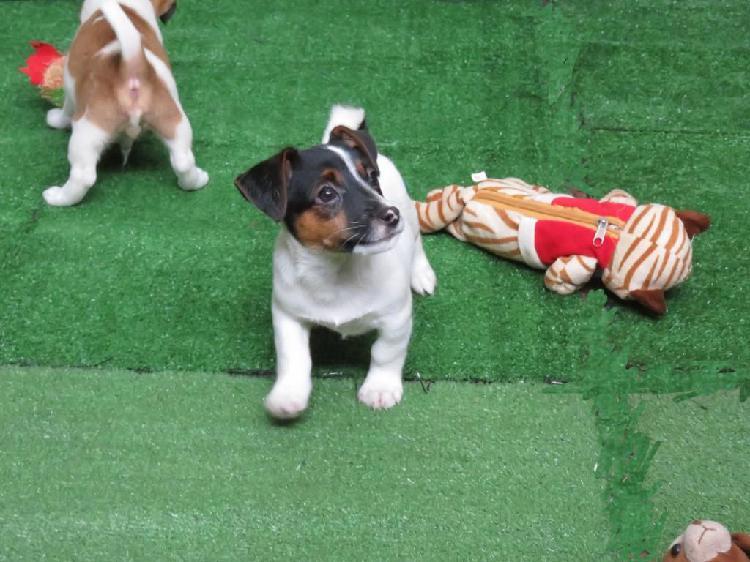Jack russell terrier cachorros de cuatro meses y de dos