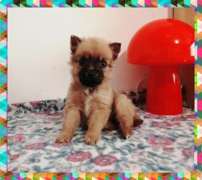 Chihuahua de pelo toy