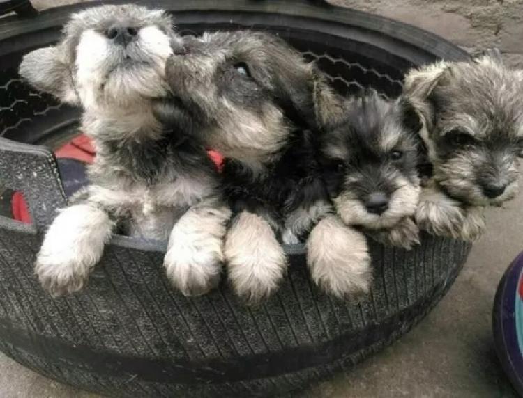 Hermosos cachorritos schnauzer miniatura