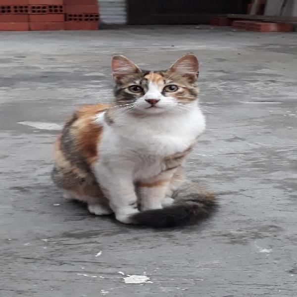 Regalo 1 gato hembra tricolor calicó
