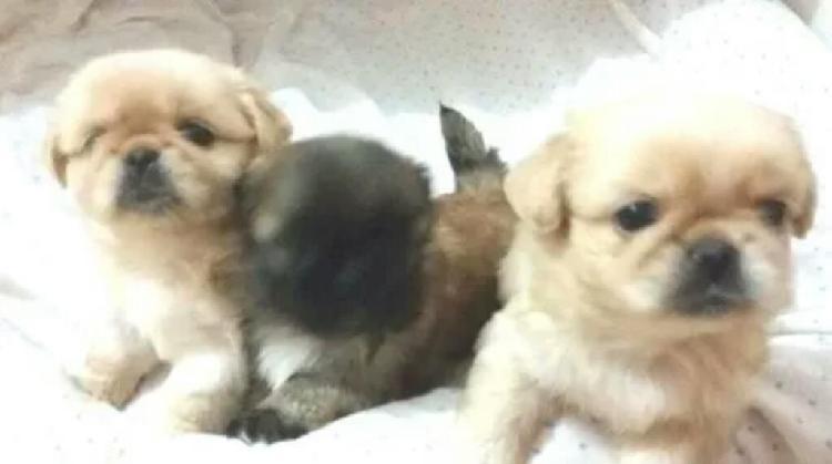 Cachorros pekinés 350 soles