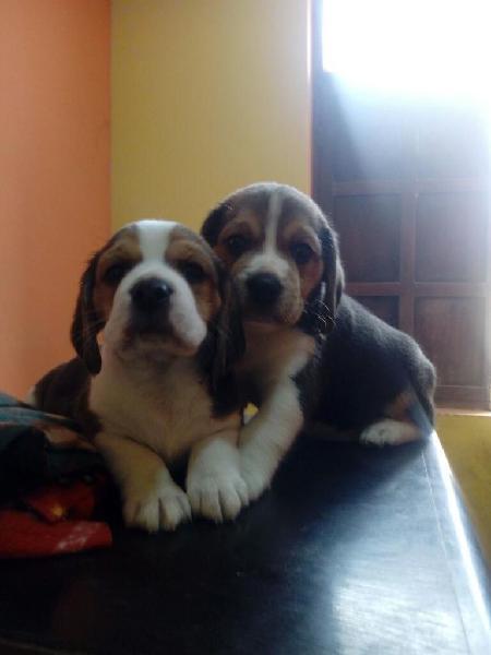 Remato Hermosos Beagles