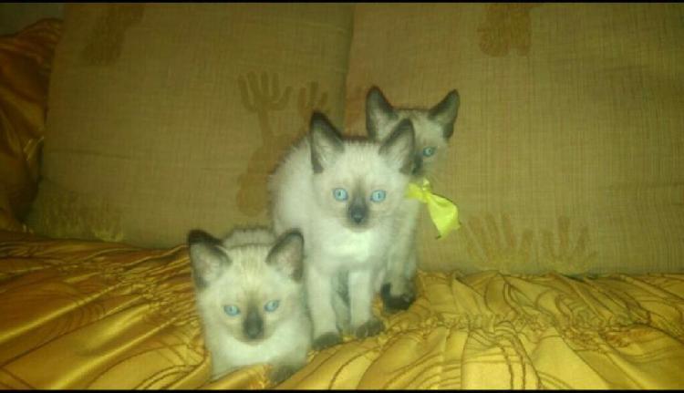 Unicos y legitimos gatitos siameses de padres extranjeros