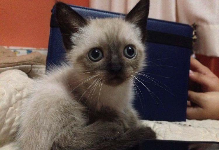 Vendo lindos gatitos siameses
