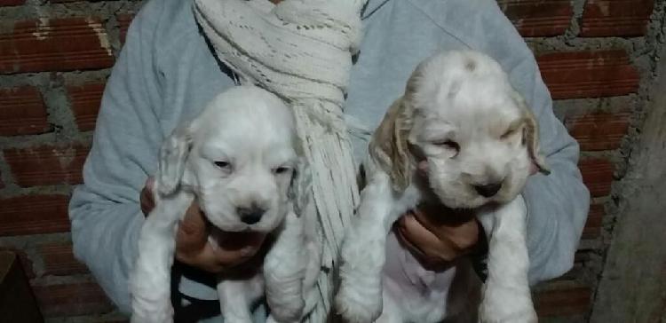 Cachorros cocker spaniel ingles blancos