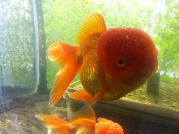 Goldfish oranda reproductores