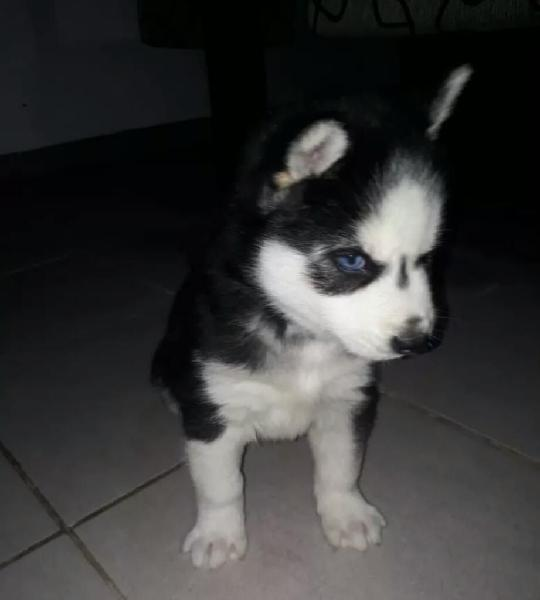 Siberianos ojos azules