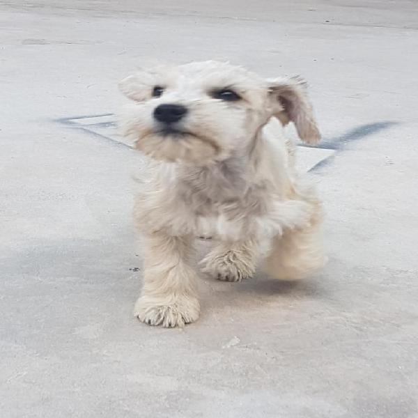 Schnauzer cachorro hembra