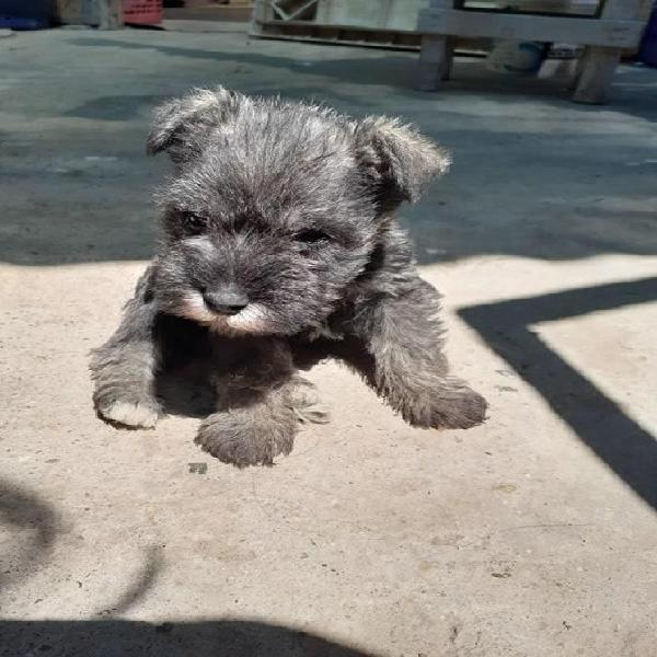 Cachorritos schnauzer toy