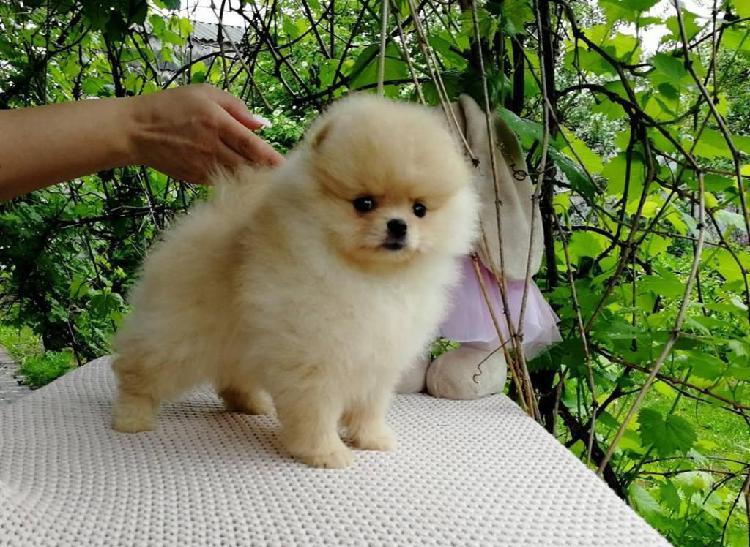 Lulu pomerania cachorros