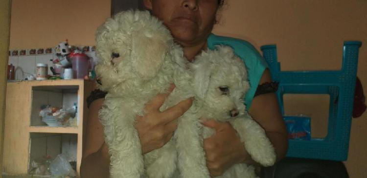 Ultimos cachorritos poodle toy