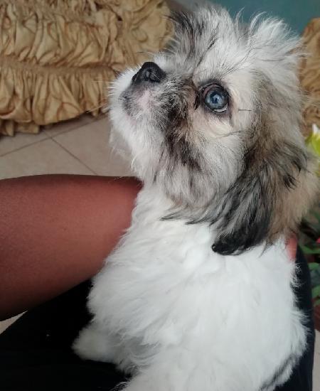 Es perrito chizu ojos azules