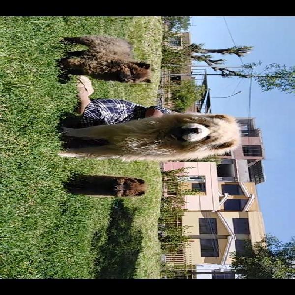 Cachorros Chow Chow Lengua Morada