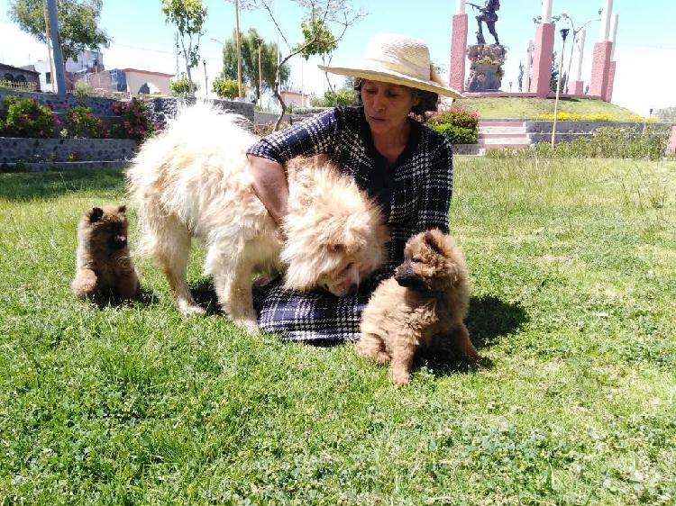 Cachorros Chow Chow en Venta