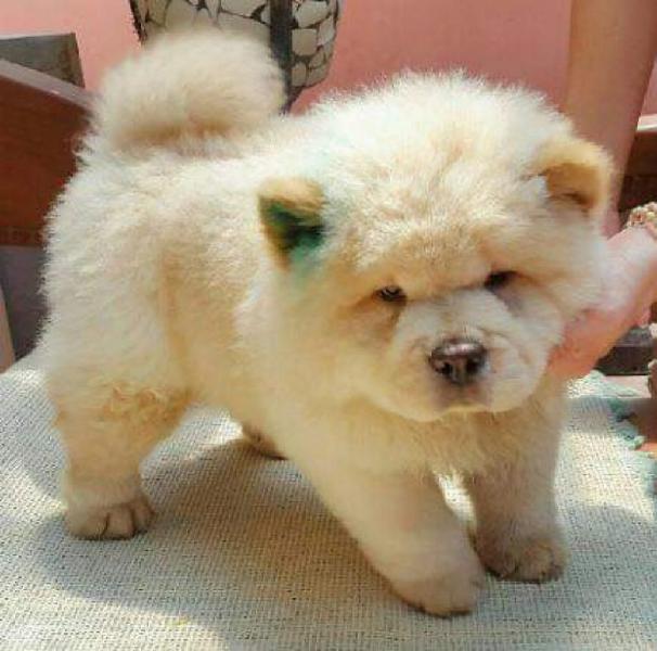 Chow Chow Raza Pura Cachorros