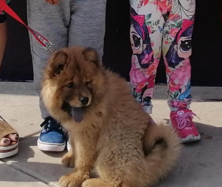 Se vende cachorro chow chow