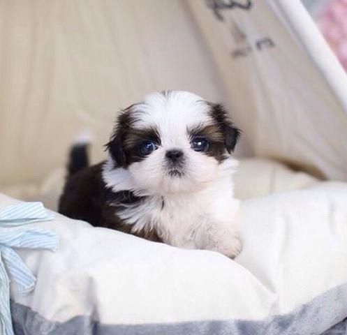 vendo lindos cachorritos shih Tzu mini toy