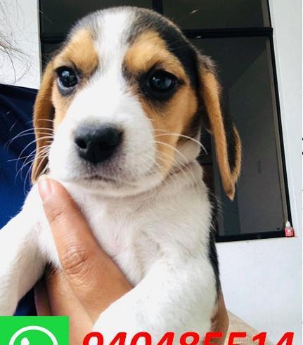 Cachorros Beagles 940485514