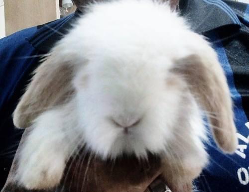 Conejo French Lop Como Mascota Raza Grande