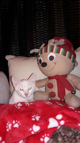 Gatito tipo siames red point 4 meses killariadoptameow