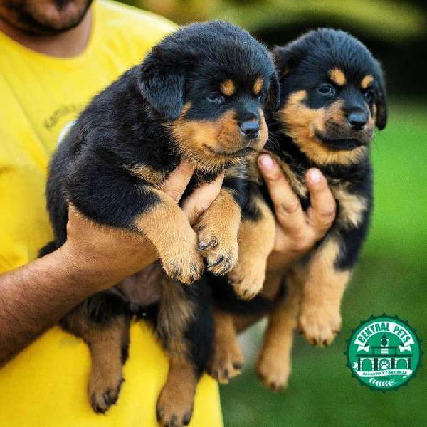 Cachorros rottweiler- envió nacional central pets peru