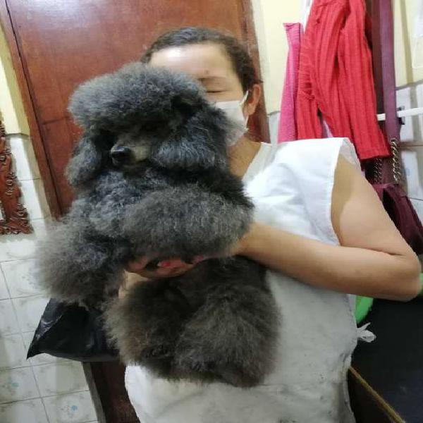 Lindo poodle. mini 23 cm a la. cruz. ((línea. argentina.))
