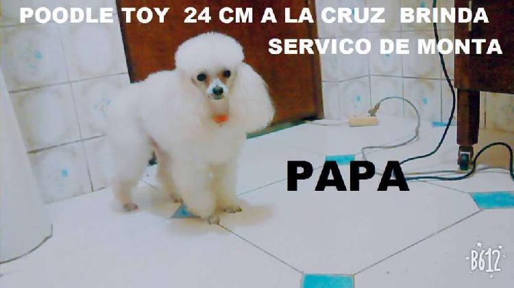 Poodle toy 25 cm a la cruz brinda servicio de monta (((linea