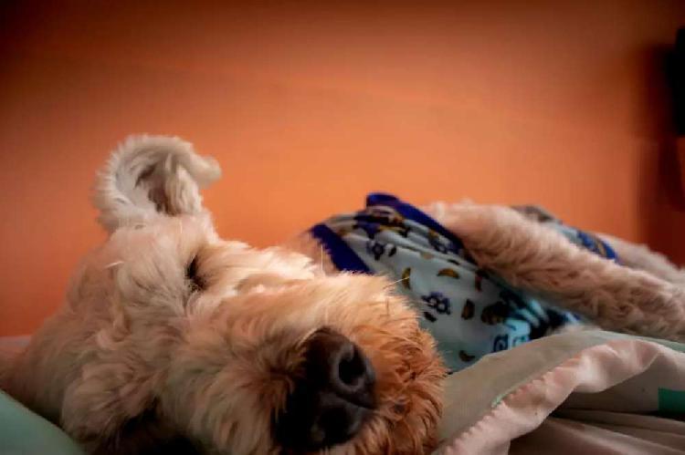 Servicio de monta de perro de raza schnauzer de color blanco