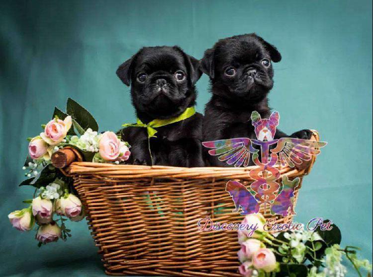 Cachorritos pug carlino de color negro con pedigree