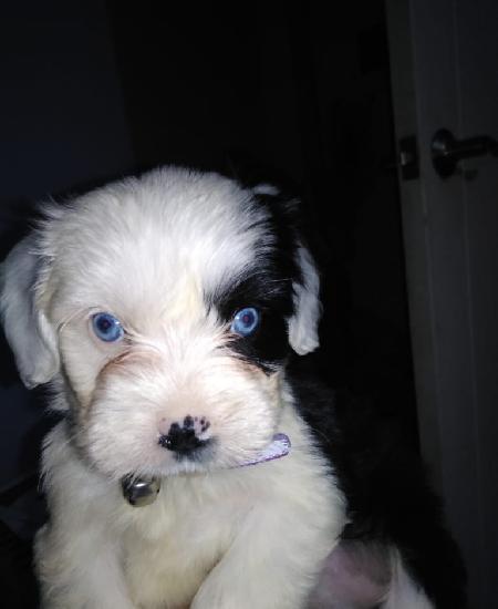 Perro cachorro ovejero inglés de un mes