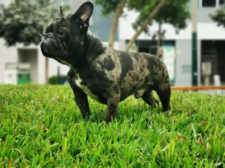 Bulldog Francés Black Merle Servicio de Monta
