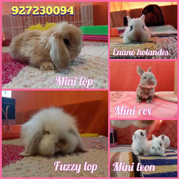 Conejitos de raza pequeña para mascota en mini lop, enano