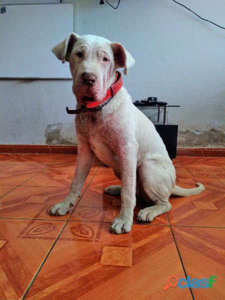 Regalo perro pampa (dogo argentino + pitbul)