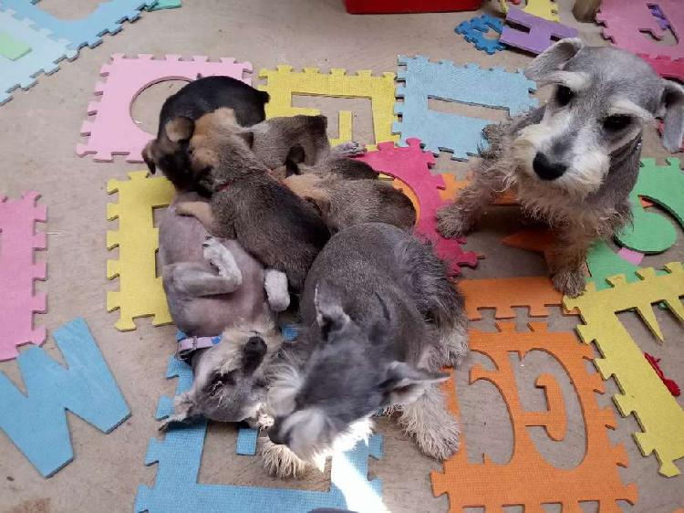 Cachorros schnauzer con shih tzu