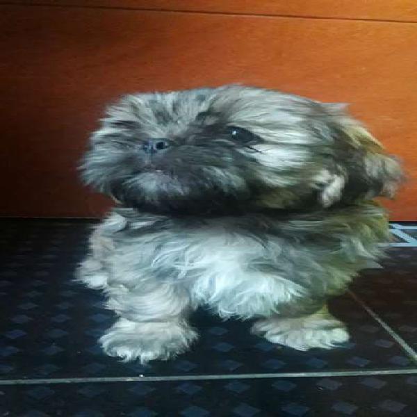 Vendo cachorros Shih Tzu